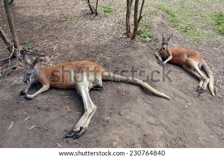 Two Red kangaroo sit on the ground in Queensland, Australia. - stock photo