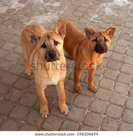Two red little puppy standing on pavement - stock photo