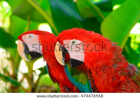 Two red macaw parrots