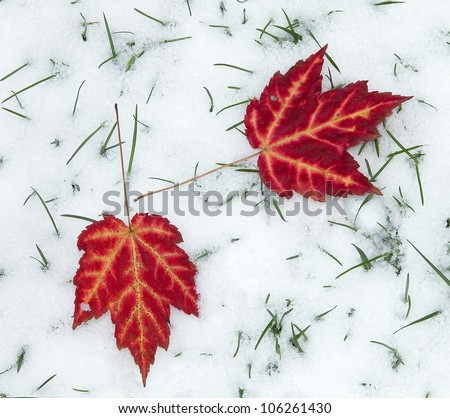 Two Red Maple Leaves on Snow - stock photo