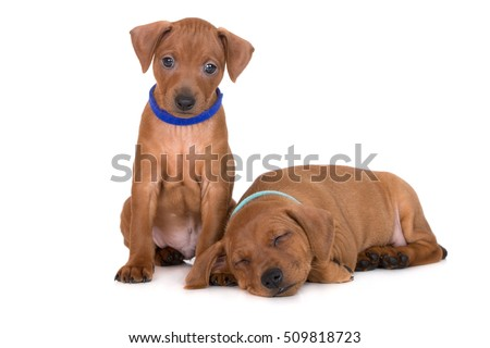 two red pinscher puppies posing on white