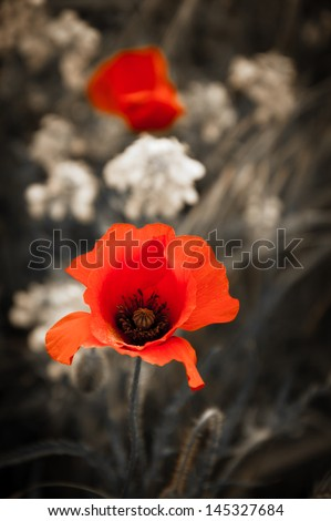 Two red poppies and rape flowers on aged background. Selective focus. Retro style greeting card. - stock photo