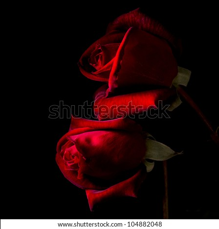 Two red roses in black back blackground - stock photo