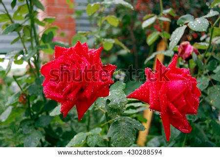Two red roses with water drops on a background of green leaves - stock photo