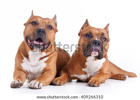 two red Staffordshire terriers