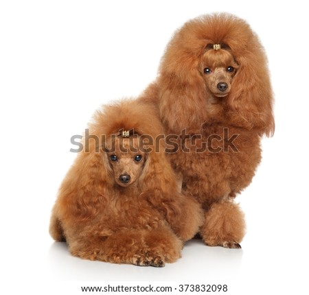 Two Red Toy poodles posing in front of white background - stock photo