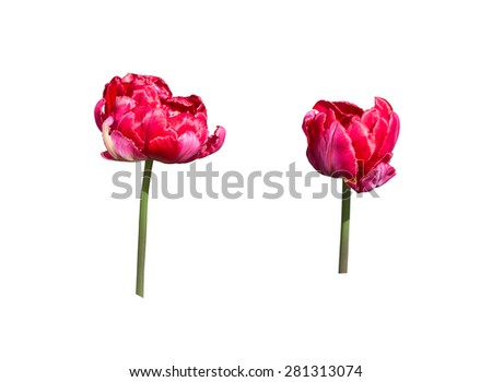 Two red tulips isolated on white, design element.