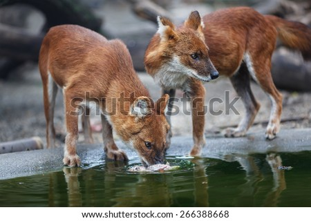 Two red wolf eating meat by the water - stock photo