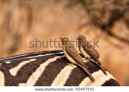 Two redbilled oxpeckers sitting on a zebra's but