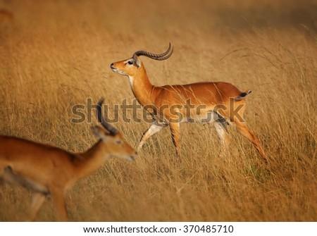 Two reddish-brown antelope Kobus kob thomasi -- Uganda kob,territorial male in mating season sniffs female,in its typical environment, dry brown blurred savanna in Murchison Falls,Uganda.. - stock photo