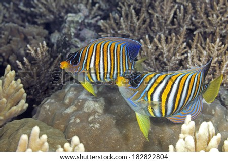 Two Regal Angelfish, swimming over coral reef. Also known as Royal Angelfish.  Uepi, Solomon Islands. Solomon Sea, Pacific Ocean