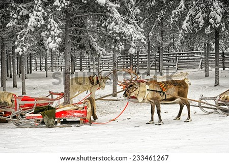 Two reindeer with sledges in winter arctic forest