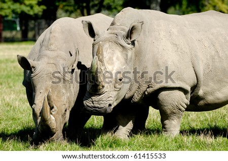 Two rhino is standing and looking on green grass - stock photo