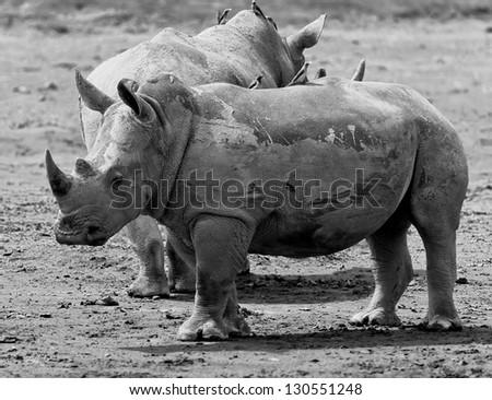 Two rhinoceros at Lake Nakuru National Park - Kenya, Africa (black and white) - stock photo