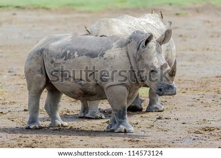Two rhinoceros at Lake Nakuru National Park - Kenya. East Africa - stock photo