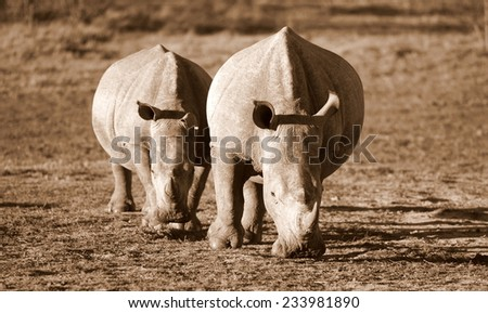 Two rhinoceros / rhino moving together in this image. - stock photo