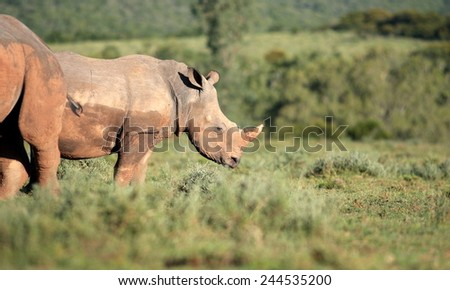 Two rhinoceros stand together. A baby white rhino / rhinoceros calf and her mom. - stock photo