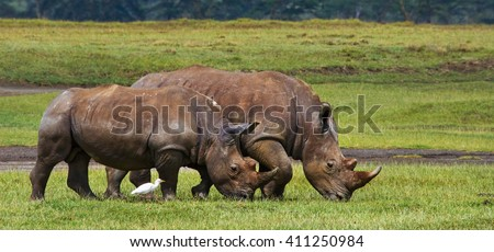 Two rhinoceros walking on grass in the national park. Kenya. National Park. Africa. An excellent illustration.