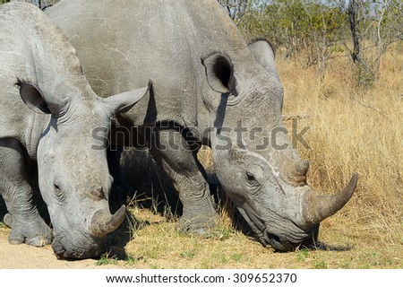 Two Rhinoceroses or Rhinos Walking in Savannah