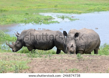 Two Rhinos, one with the horn poached