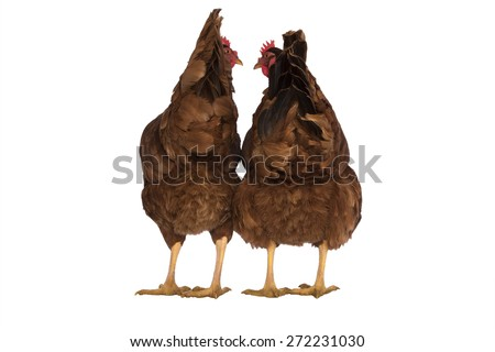 Two Rhode Island red chickens one with skinny butt, one with fat butt - stock photo
