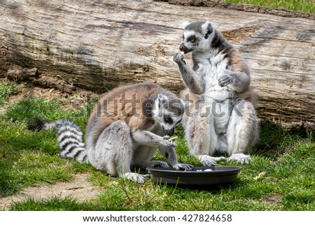 Two ring-tailed lemur catta sitting on the grass, in front of a bowl with vegetables, lunch - stock photo