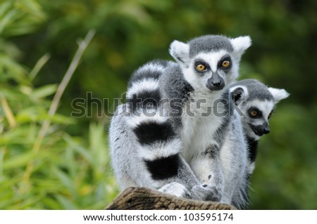 Two ring-tailed lemur sitting on a tree - stock photo