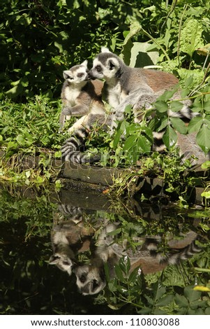 Two ring-tailed lemurs near the waterside kissing - stock photo