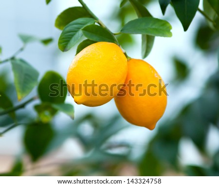 Two ripe lemons hanging on a tree - stock photo