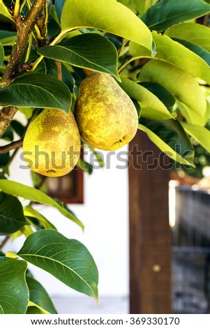 Two ripe pears hanging on a branch of a pear tree, in front of a house balcony - stock photo