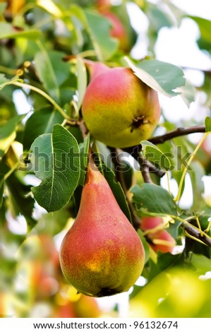 Two ripe pears on a tree. Pears in the garden. - stock photo