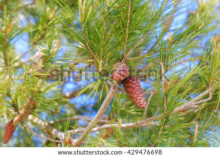 Two ripe red pinecone of mediterranean pine on tree - stock photo