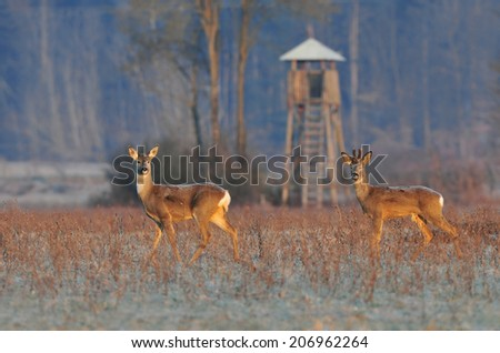Two roe deer in early winter morning with observation tower in the background - stock photo