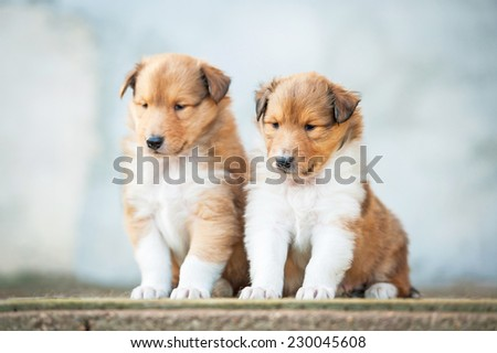 Two rough collie puppies sitting on the stairs - stock photo