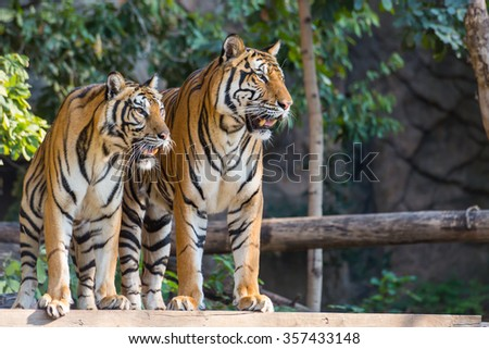 Two royal bengal tiger standing and look towards