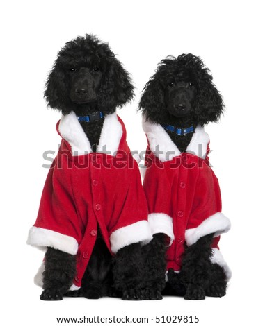 Two Royal Poodle puppies in Santa coats, 4 months old, sitting in front of white background - stock photo