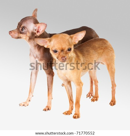 Two Russian toy terrier isolated on a white background