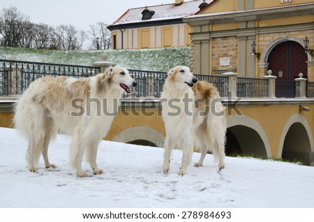 Two russian wolf hounds or Russian psovy borzoi dogs standing in winter park with Nesvizh Castle at background, Belarus.