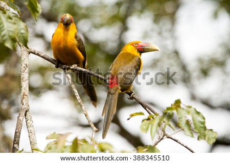 Two Saffron toucanets in a branch tree - toucans