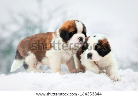 Two saint bernard puppies in winter - stock photo