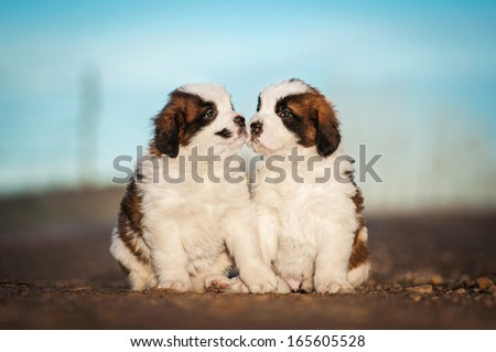 Two saint bernard puppies kissing - stock photo