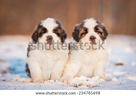 Two saint bernard puppies sitting on the snow in winter - stock photo
