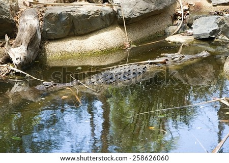 two salt water crocodiles/follow the leader - stock photo