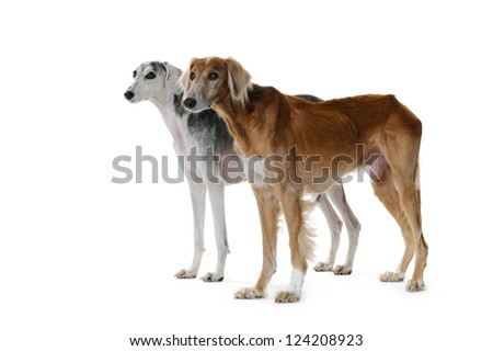 two saluki dog, 7 and 14 years old, on front of white background