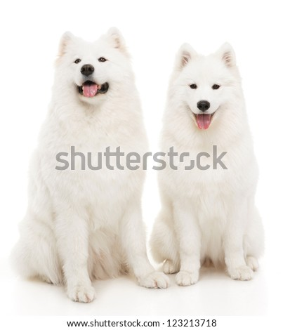 Two samoyed dogs on white background - stock photo