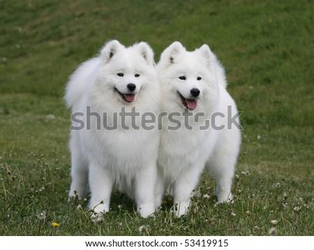 Two Samoyeds - stock photo