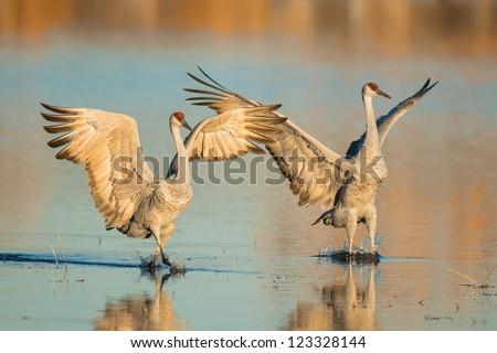 Two sandhill cranes on a pond in Bosque del Apache National Wildlife Refuge near Socorro, New Mexico - stock photo