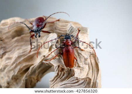 Two scarab are fighting.White background.