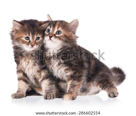 Two scared cute siberian kittens isolated on white background - stock photo