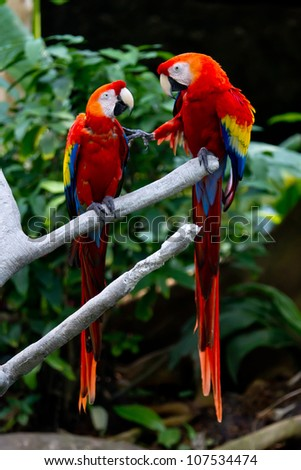 Two Scarlet Macaws (Ara macao) in a Discussion About Keeping Their Distance.  At Moody Gardens, Galveston, Texas.